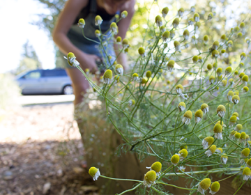 Chamomile harvesting at the Health and Wellness Garden, near Clark Drive, Vancouver.